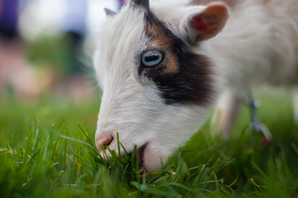 An image of a goat leaning down to eat some grass.