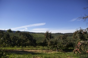 image of orchard with blue sky